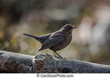 Female blackbird - Turdus merula