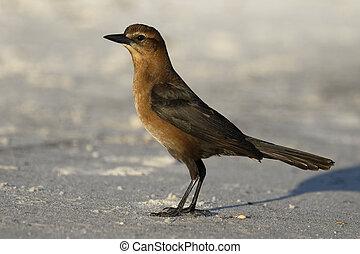 Female Boat-tailed Grackle  - Cedar Key, Florida