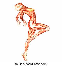 Female Body Anatomy - Illustration of the anatomy of the ...