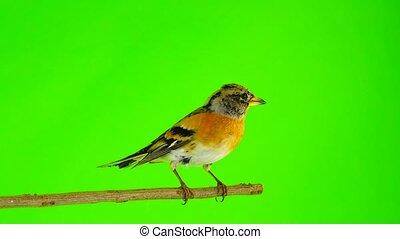 female Brambling (Fringilla montifringilla) sits on a branch...