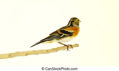female Brambling (Fringilla montifringilla) sits on a...