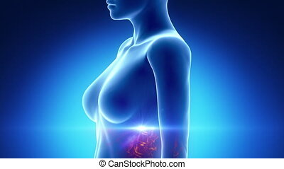 Female BREAST anatomy in blue x-ray