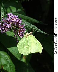 Brimstone Butterfly - Female Brimstone Butterfly feeding on...
