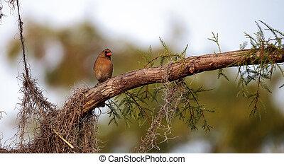 Female brown and red Northern cardinal bird Cardinalis ...