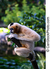 Female (Buff Coloured) White-Cheeked Gibbon sitting on branch