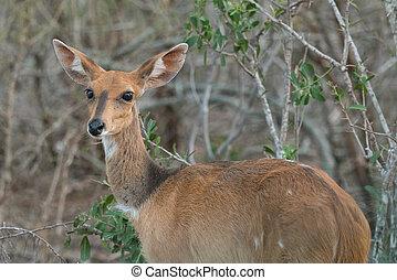 Female Bushbuck
