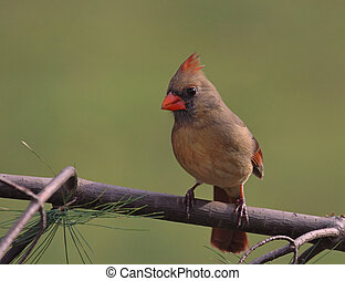 Female Cardinal - Female Northern Cardinal perched near a ...