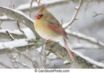 Female Northern Cardinal (cardinalis cardinalis) on a branch in a snow storm