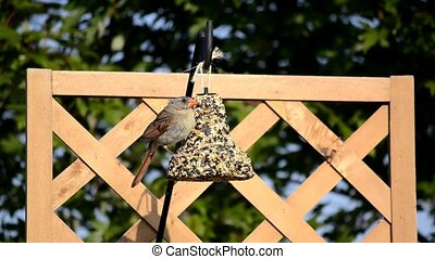 Female Cardinal on seed bell 2 - Female Cardinal (Cardinalis...