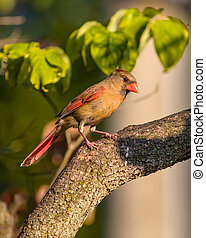 Female Cardinal perched on branch
