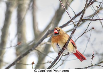 Female Cardinal Perched On Tree