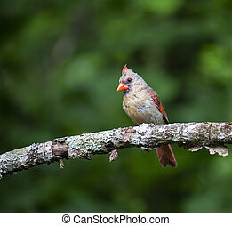 Female Cardinal Perches in Apple Tree