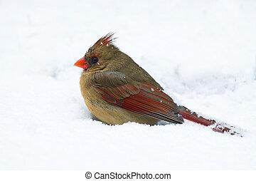 female cardinal sits in a snow drift