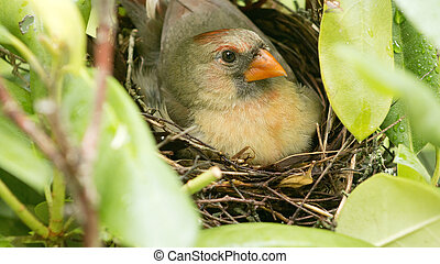 Female cardinal sits on her new born babies in the nest - A ...