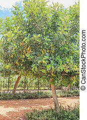 Female carob tree - Unripe seed pods on a female carob tree,...