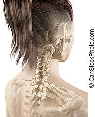 Female cervical spine - 3d illustration of the female...