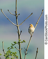 Female Chaffinch - Female chaffinch sitting on the branch of...