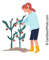 Female character picking ripe tomatoes at farm, harvesting ...