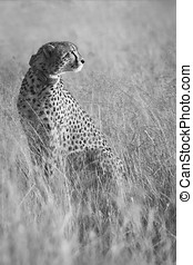 Female cheetah sitting in brown grass in the early morning sun