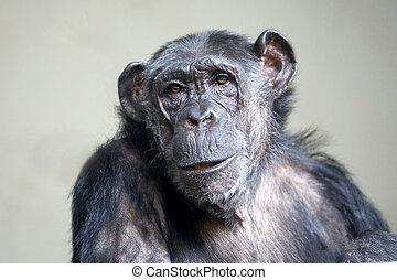 Female chimpanzee portrait