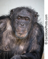 Female Chimpenzee portrait
