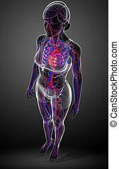 Female circulatory system - Illustration of female...