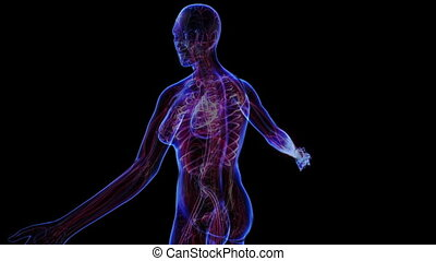 Female Circulatory System - All female body systems....