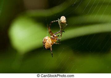 Female Cobweb Spider and Pray - Female Cobweb Spider...