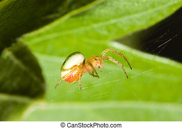 Female Cobweb Spider walking the tight rope which is his...