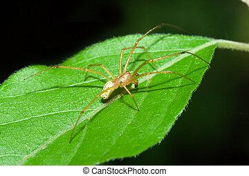Female Cobweb Spider walking on a leaf.