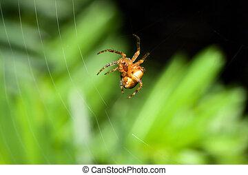 Female Cobweb Spider repairing it\'s web.