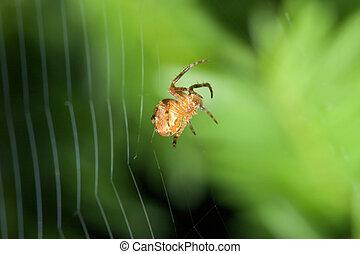 Female Cobweb Spider working on her web.