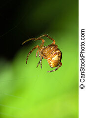 Female Cobweb Spider waiting for it\'s next meal.