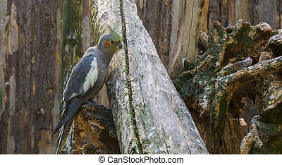 female cockatiel sitting on a branch, a popular pet in aviculture from australia