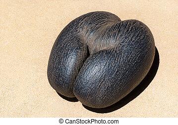 female Coco de Mer - Seychelles Sea Coconut at the sand -...