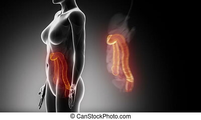 Female COLON anatomy details black