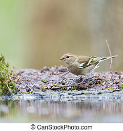 Female common chaffinch