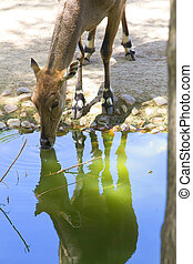 female common deer reflected in drinking water