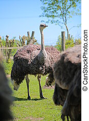 Female common ostrich (Struthio camelus) from the breed...