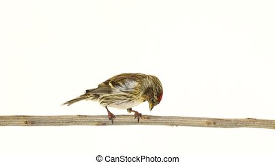 female Common Redpoll (Acanthis flammea) on white screen
