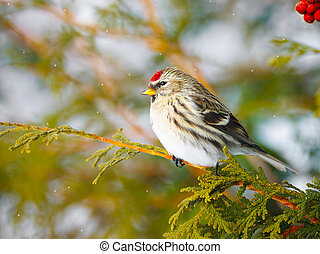 Female common redpoll. - Colorful close up image of a pretty...