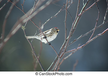 Female Common Redpoll - Common redpoll on a birch branch...