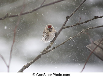 Female Common Redpoll in the snow