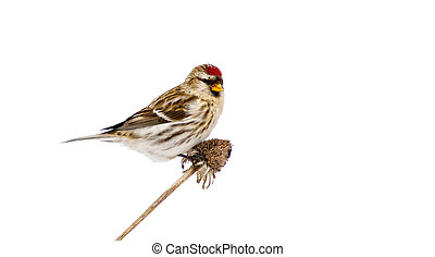 Female common redpoll, isolated. - Close up image of a...