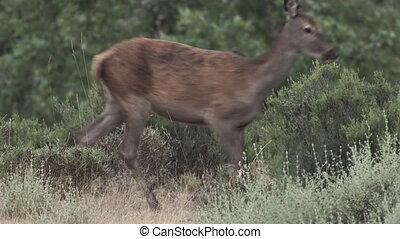 Female deer crosses frame left to right - Long shot of...