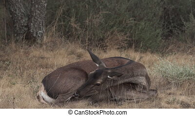 Female deer laid down and licking
