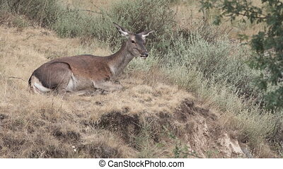 Female deer laid down feeding and moving ears - Wild female...