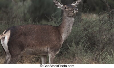 Female deer looking at the camera
