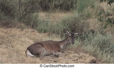 Female deer lying down chewing and moving ears, 4K - Profile...