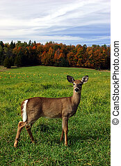 Female Deer on a Fall Day - A female deer is standing in a...